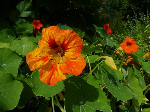 oranžová lichořeřišnice